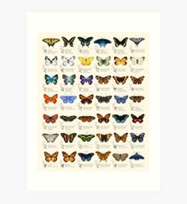 Butterflies of North America Art Print