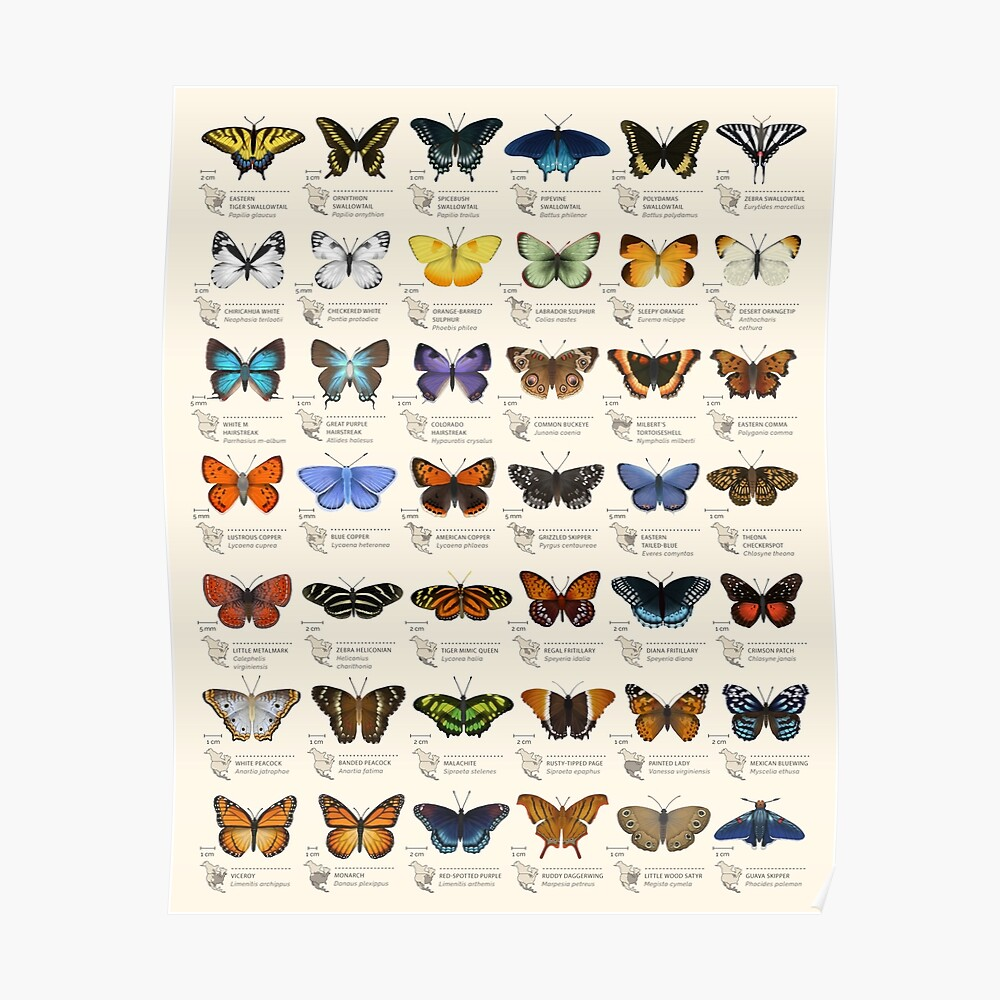 Butterflies of North America Poster