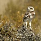 Burrowing Owl - So Where's the Burrow by jgregor