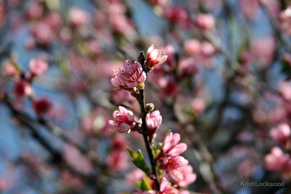 Peach Blossoms by Kristi Lockwood