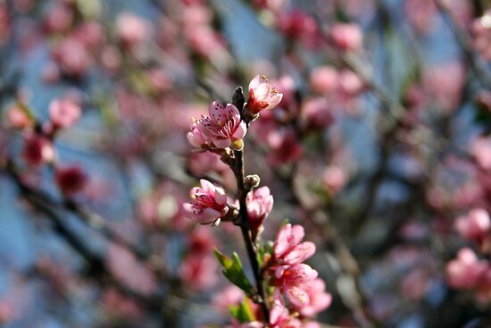 Peach Blossoms by Kristi Lockwood