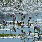 Lotus lily daydream  by Margaret Stanton