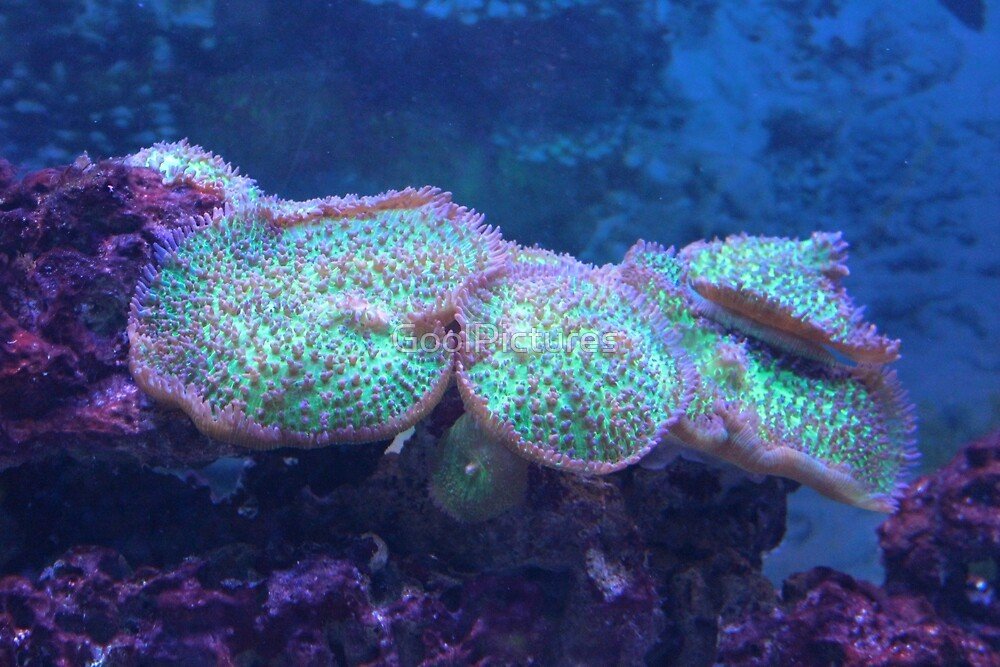 Corals by GoolPictures