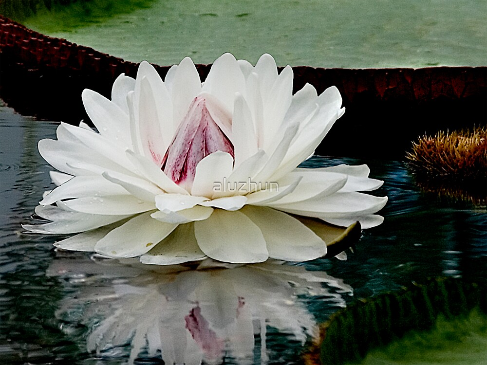 Amazon Water Lily by aluzhun