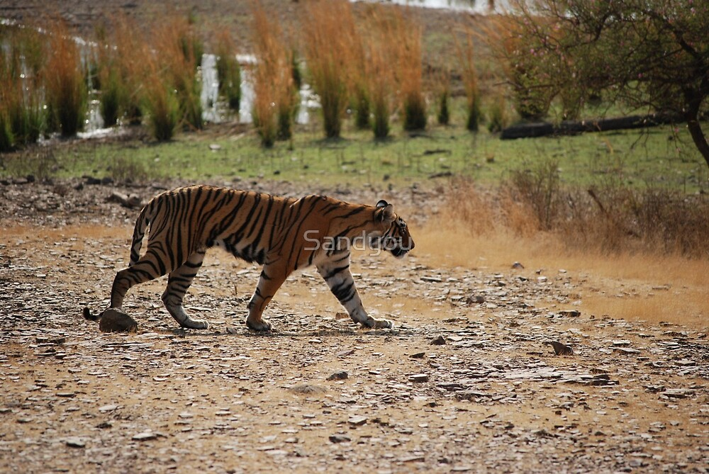 Tiger Grrrrrrrrrrrr by Sandyou