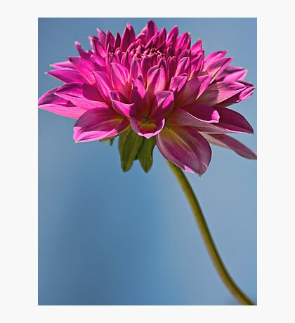 Single Fall Dahlia Photographic Print