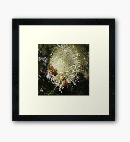 Bee on Beautiful Bottlebrush Framed Print