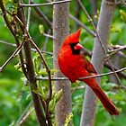 Perched Male Northern Cardinal by AriasPhotos