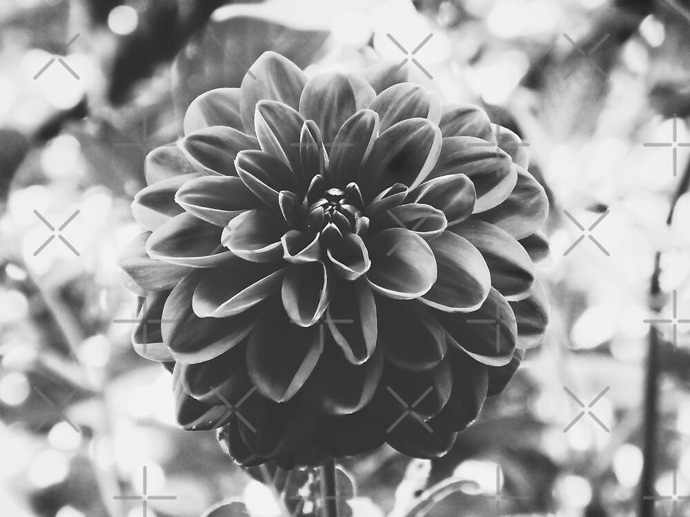 Noir Dahlia by Karen Stahlros