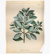 Illustrations of medical botany 1847 V1 Joseph Carson 004 Drymys Winteri Poster