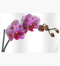 Purple Phaleanopsis Orchid on white background Poster