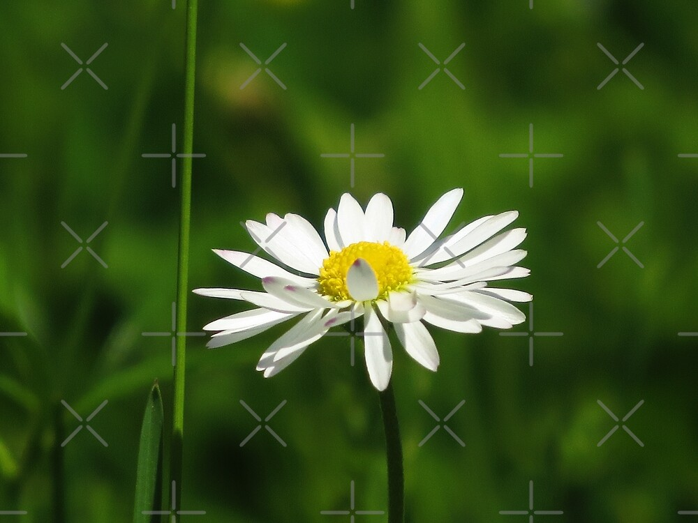 Daisy in the field by Althea Gianera