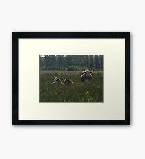Chewing the cud Framed Print