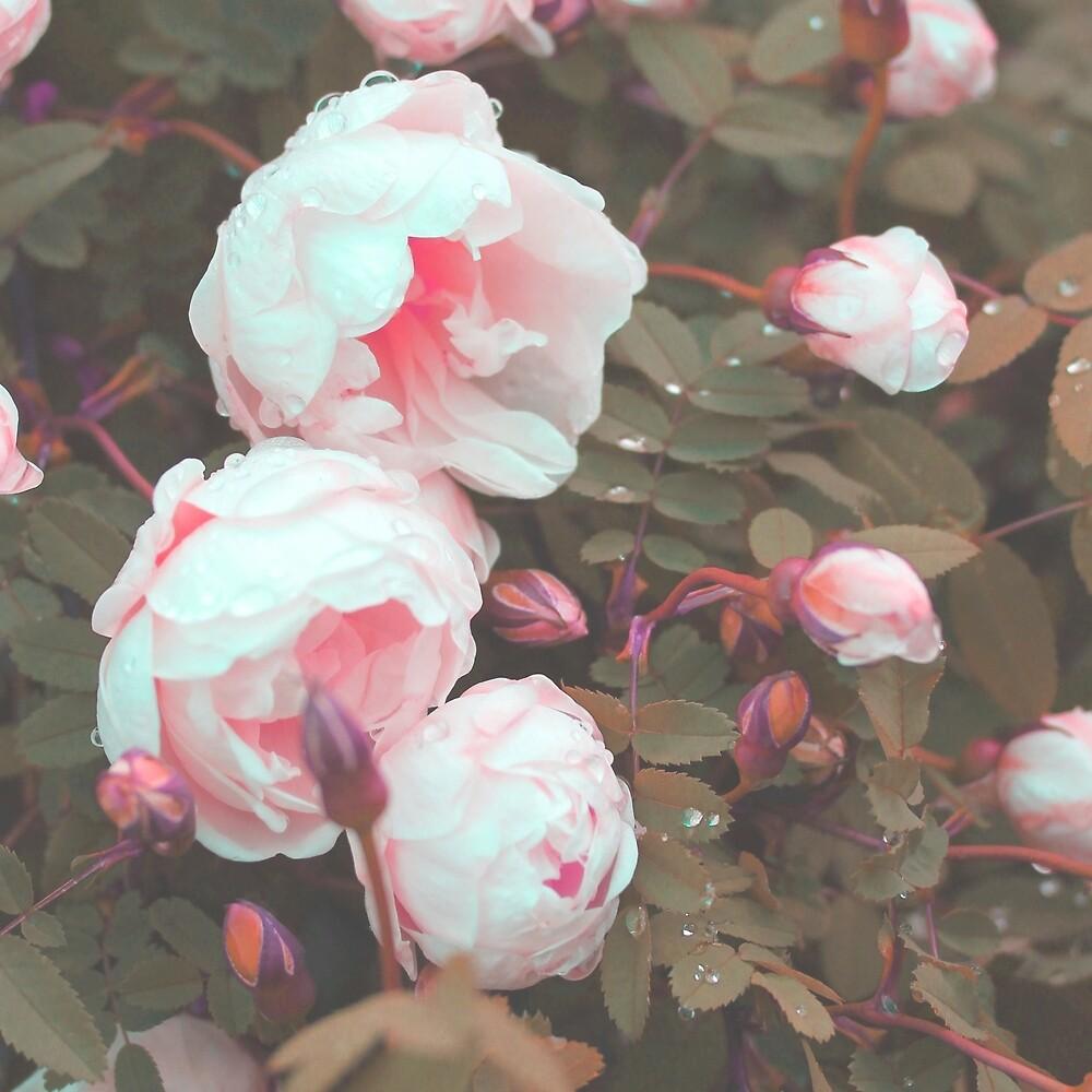 Roses by aya-o