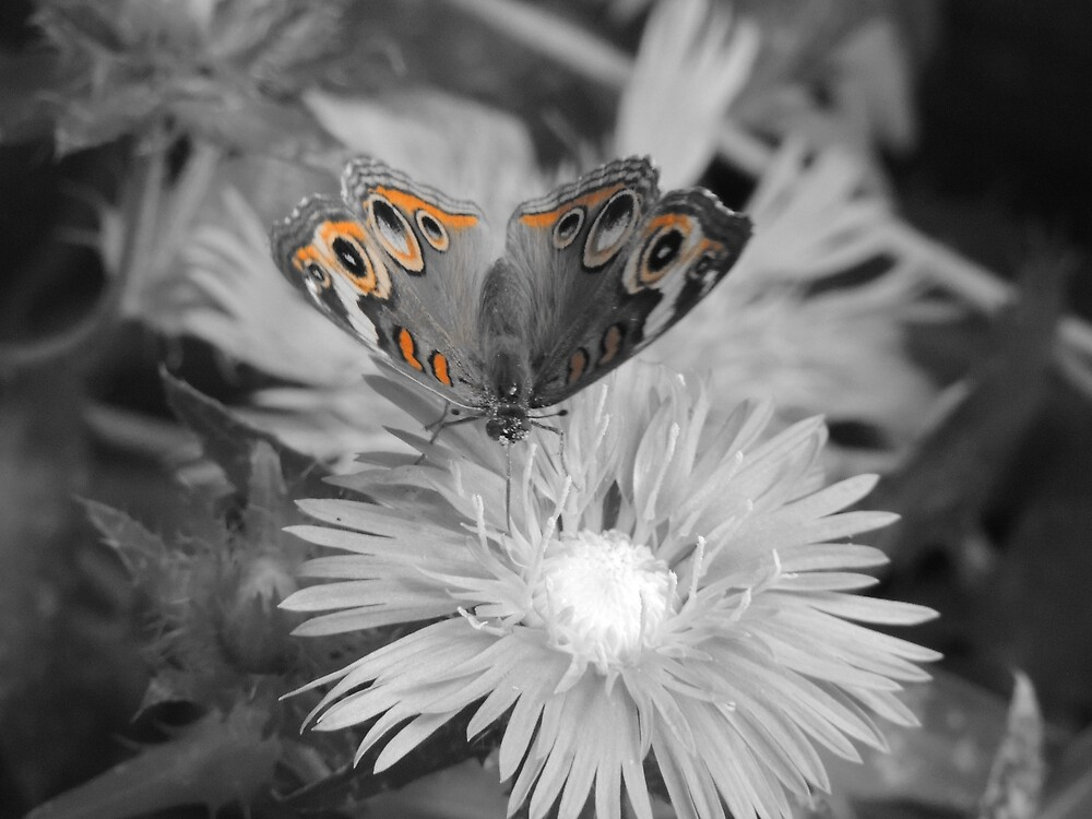 Buckeye Butterfly In Black and White by LegacyArt