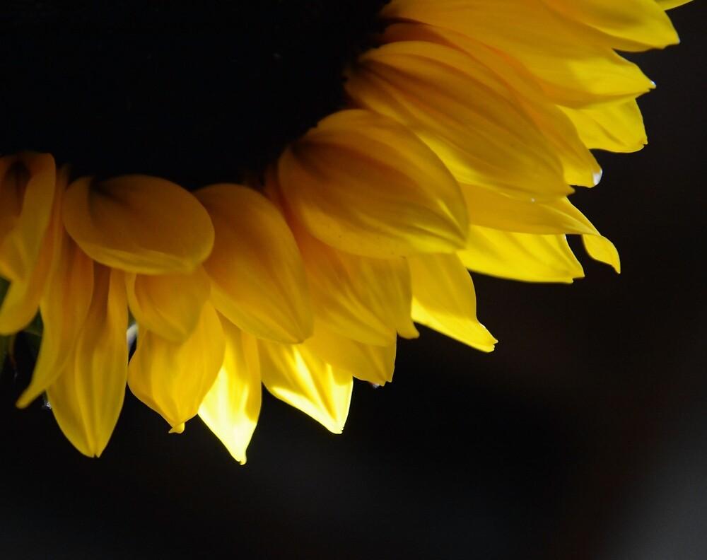 Sunflower Arc by Whisperingpeaks