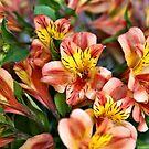 Peruvian Lily by PhotosByHealy
