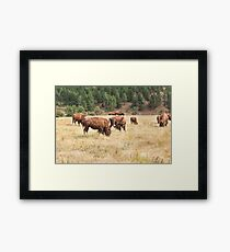 Bison Grazing Framed Print