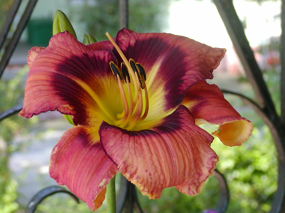 Day lily seedling that I hybridized by Theodore Ray