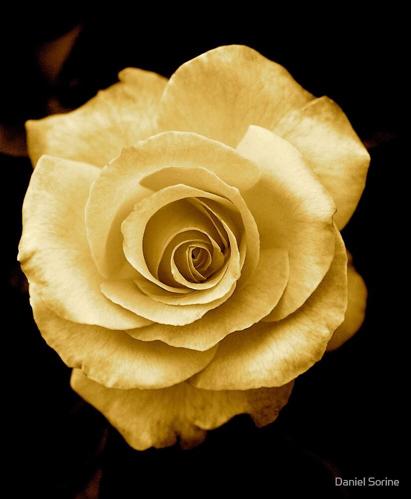 Golden rose by Daniel Sorine