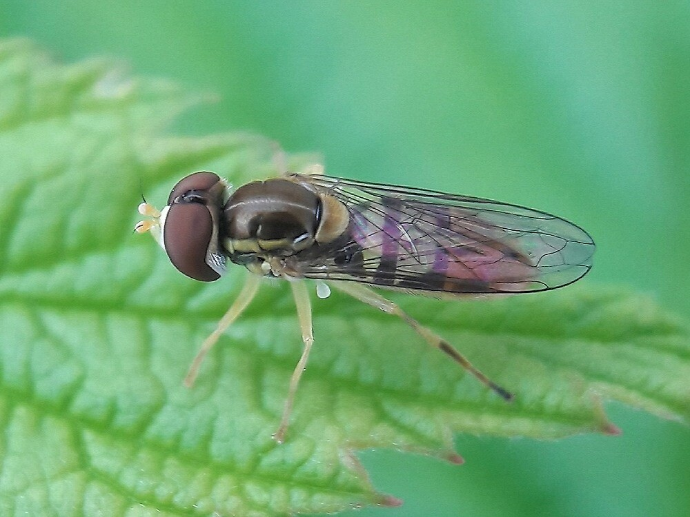 Hoverfly by gatheringwonder