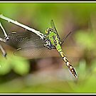Eastern Pondhawk Juvenile Male Dragonfly by Deb  Badt-Covell