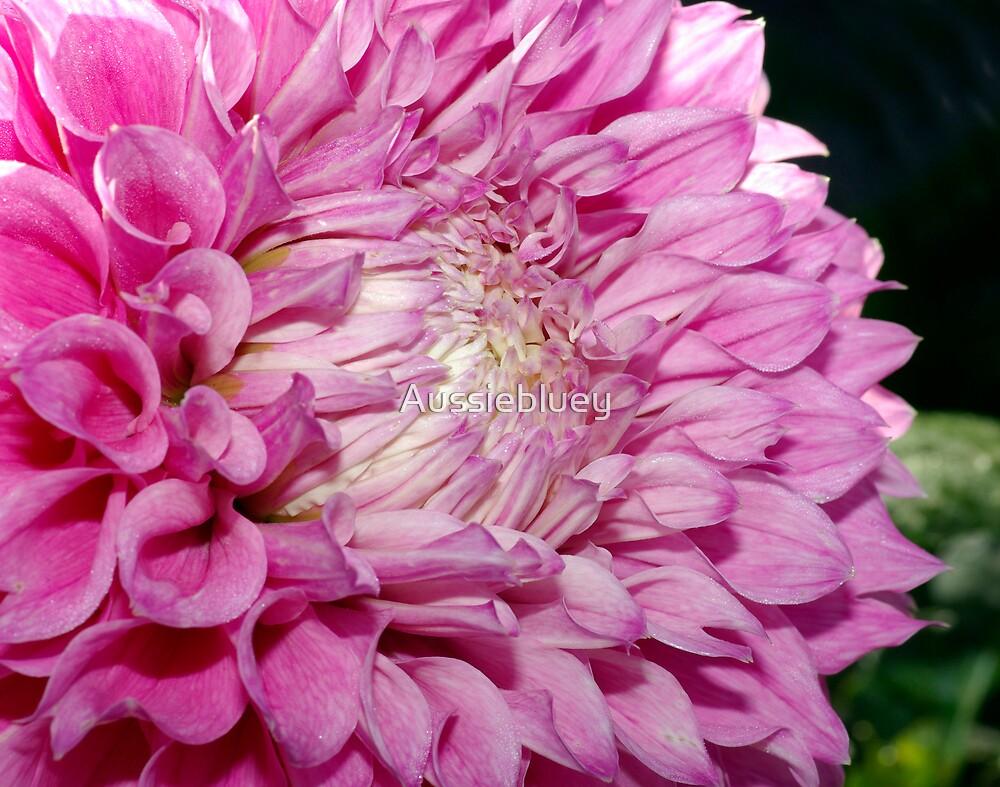 Pink Dahlia. by Aussiebluey