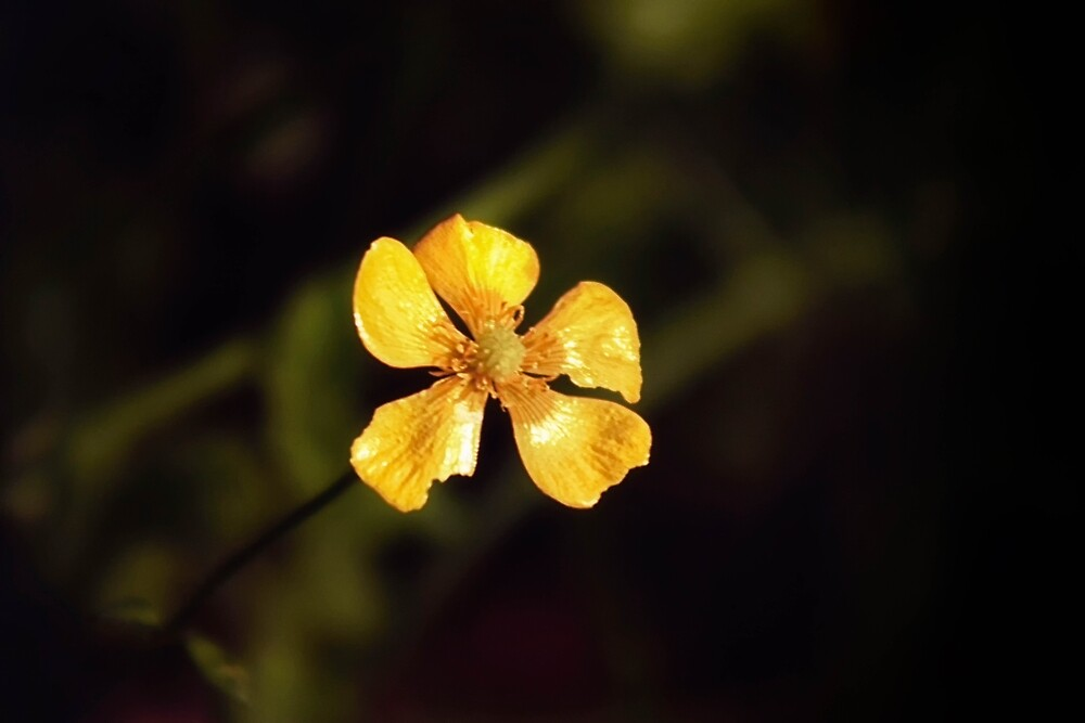 Buttercup by franceslewis