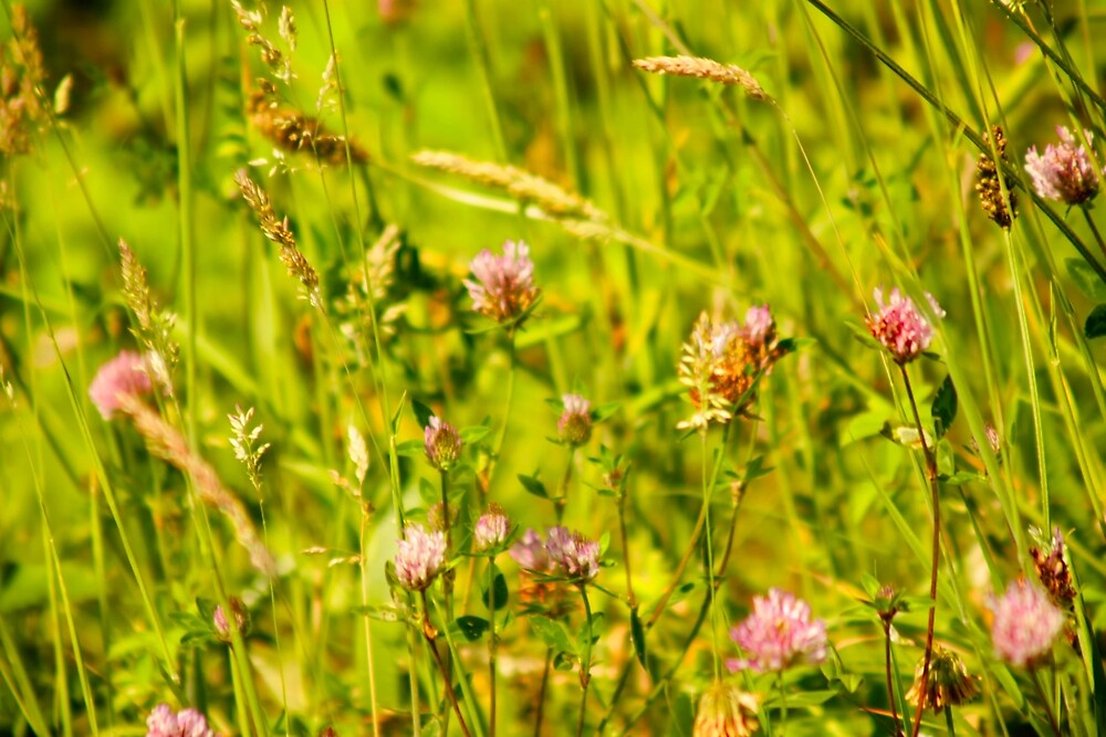 Wild chives by franceslewis