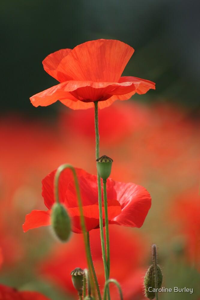 Ascot Poppy by Caroline Burley