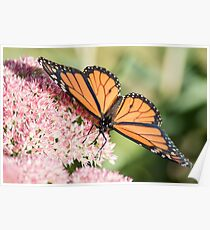 Monarch Beauty2 Poster
