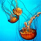 Jellyfish at the California Academy of Sciences by mariethebee