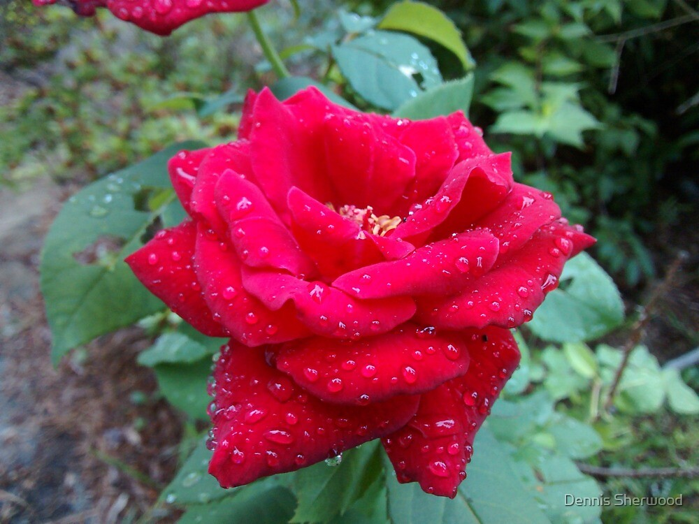 Rose in the morning  by Dennis Sherwood