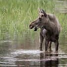 Moose in the water by Eivor Kuchta