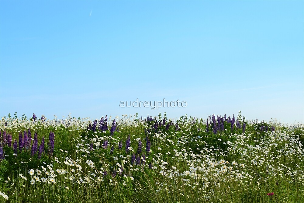Lavender & Daisies by audreyphoto
