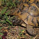 A Wild Hermann's Tortoise Strolls Through Our Garden by Dennis Melling