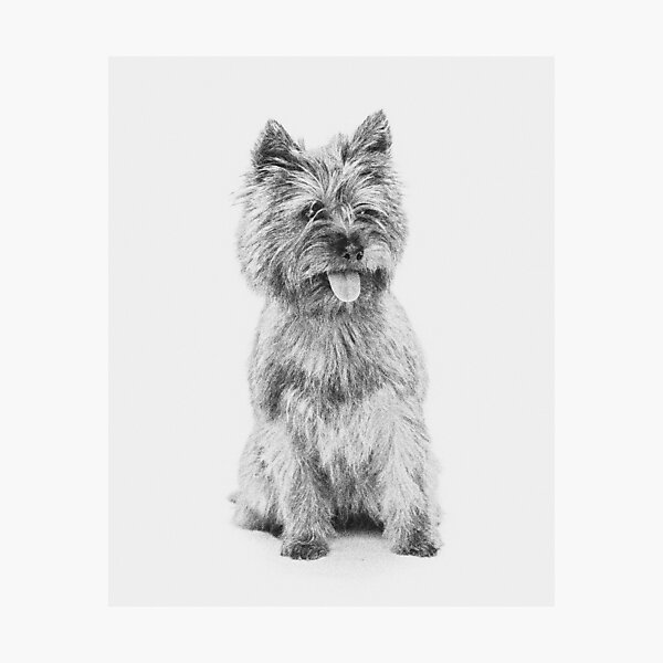 Cairn Terrier - 3a Photographic Print