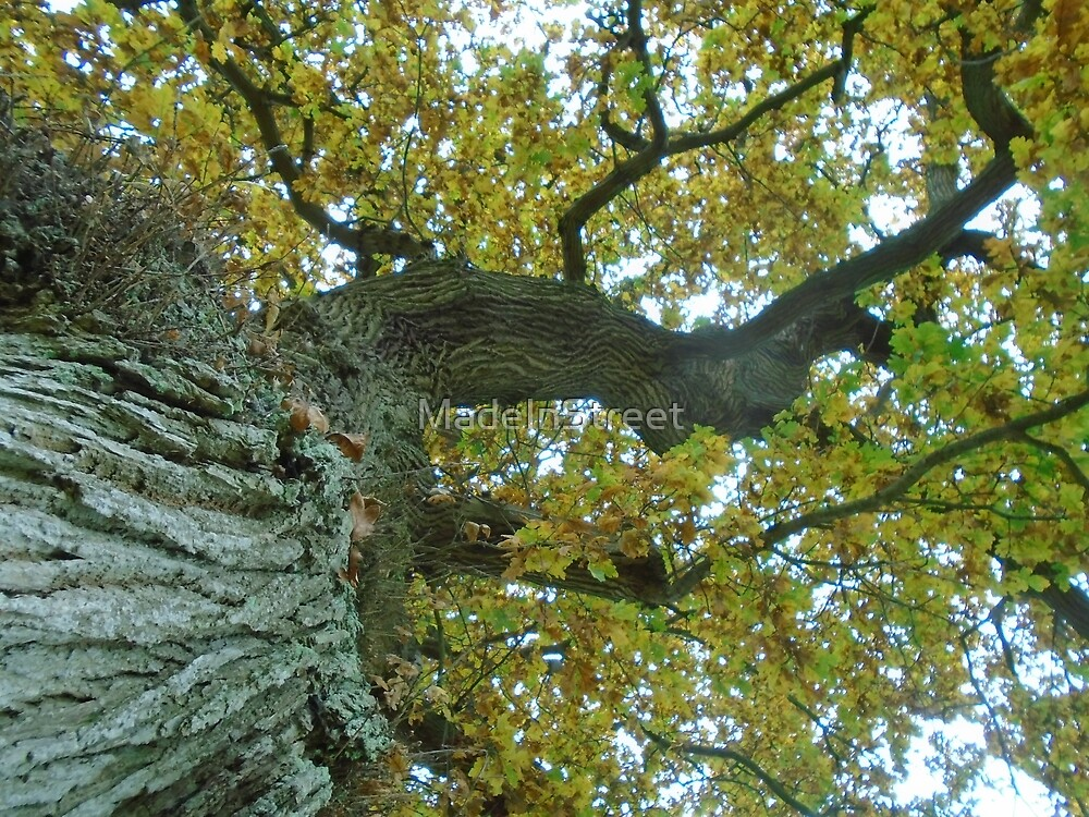 looking up the oak by Karen Chard