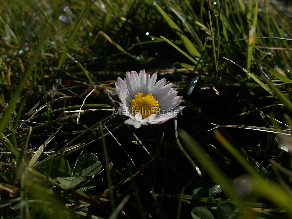 Daisy in the grass by Karen Chard