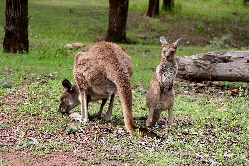 Mother kangaroo and baby joey by FranWest