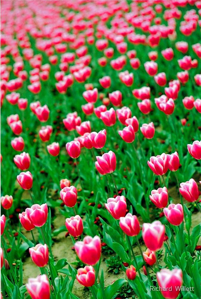 Pink Tulips  by Richard  Willett