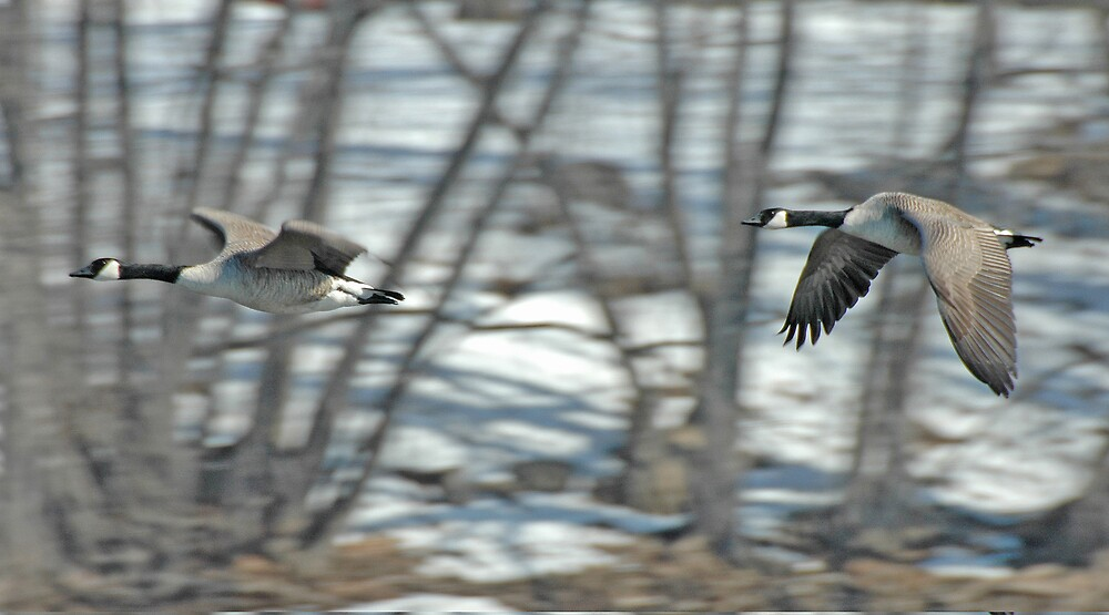 Canada Geese in Flight by pjwuebker