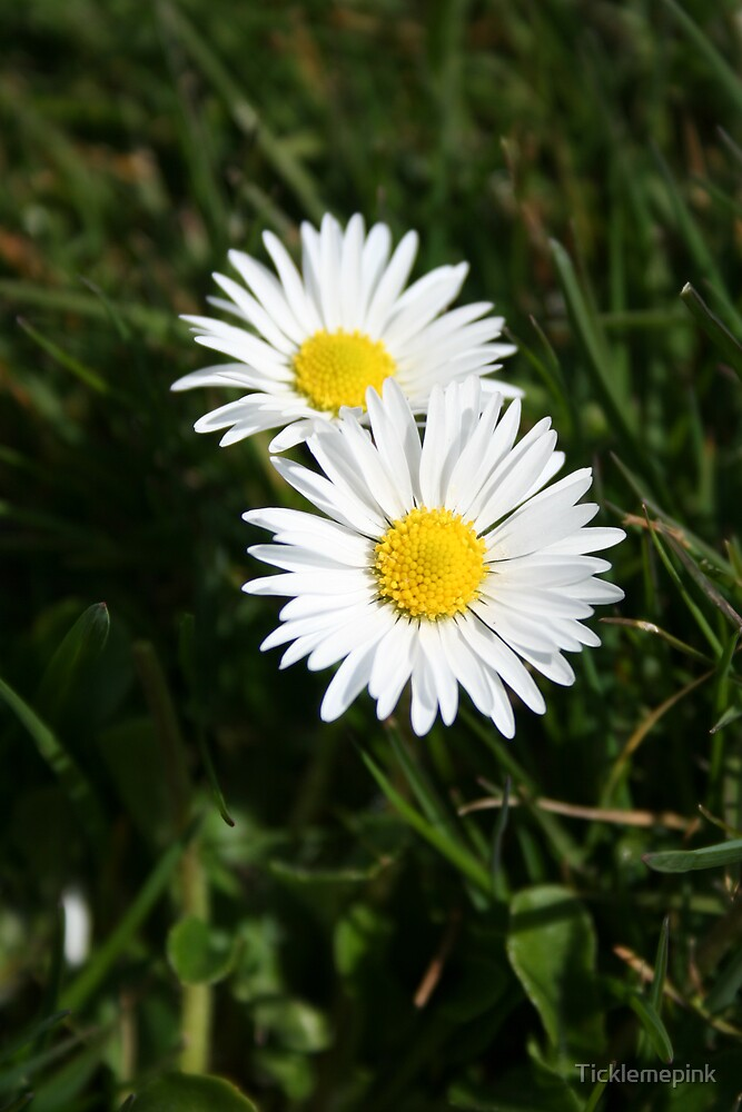 Daisy Daisy by Ticklemepink