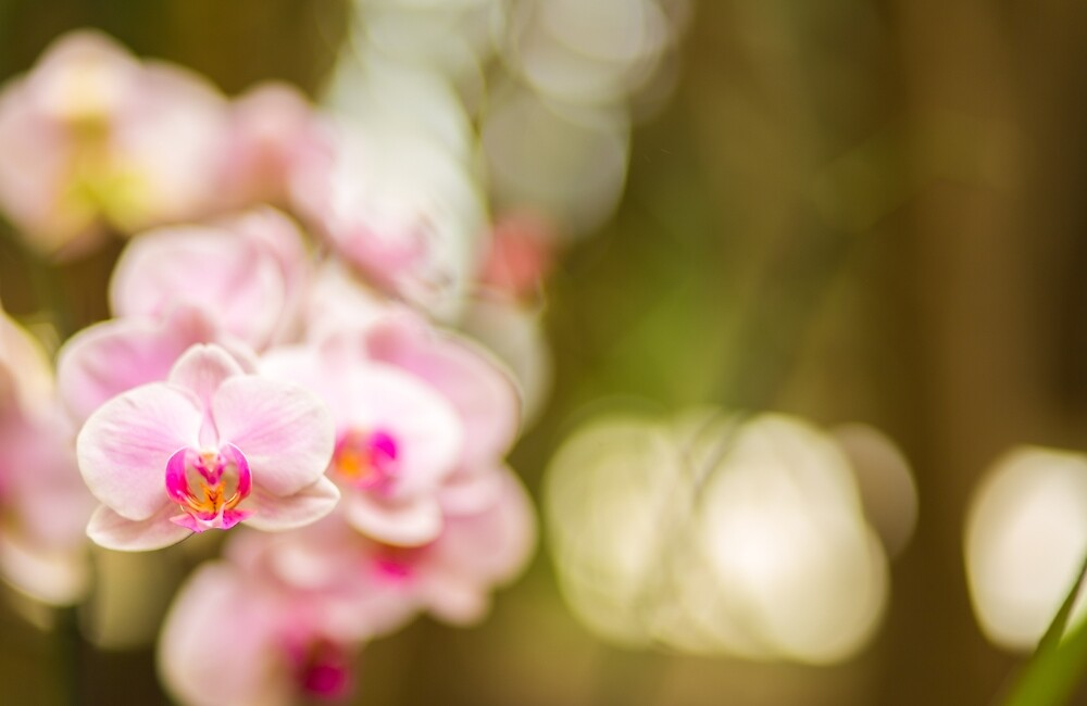 Pink orchid  flowers  by Layuee