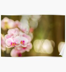 Pink orchid  flowers  Poster