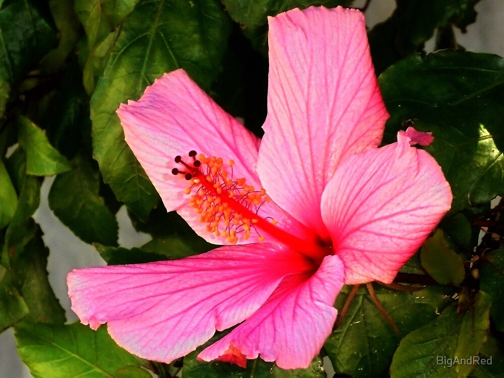 pink Hibiscus flower by BigAndRed