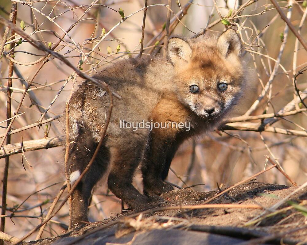 baby fox by lloydsjourney