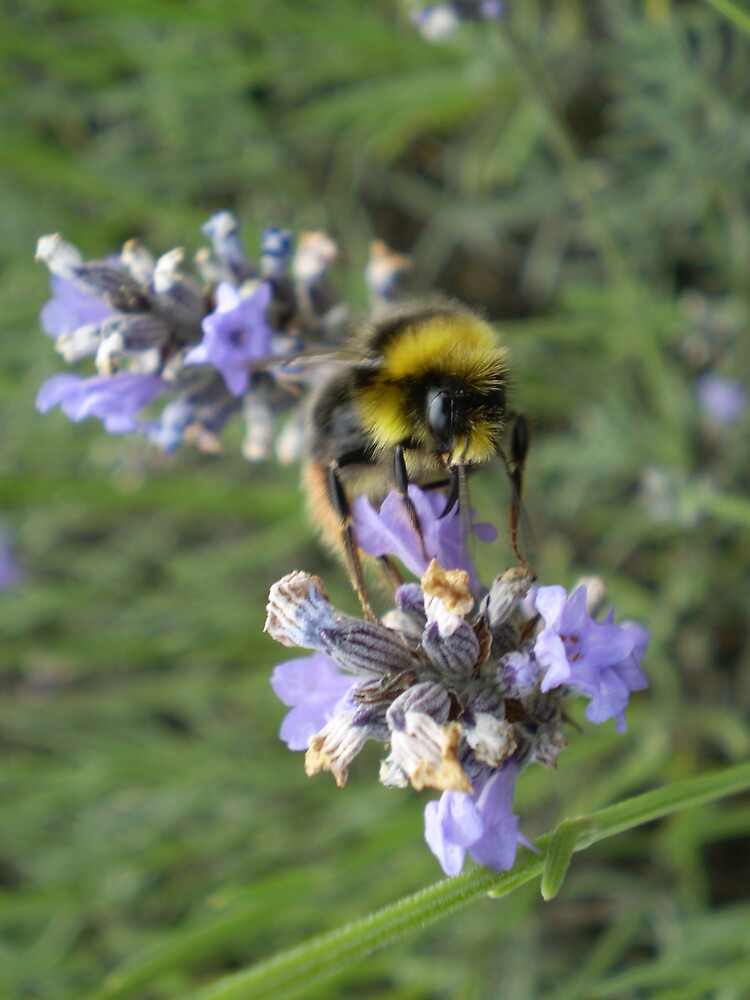 Bee on lavender by Francis yate