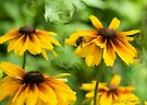 Bee on Black Eyed Susan by Mary Campbell