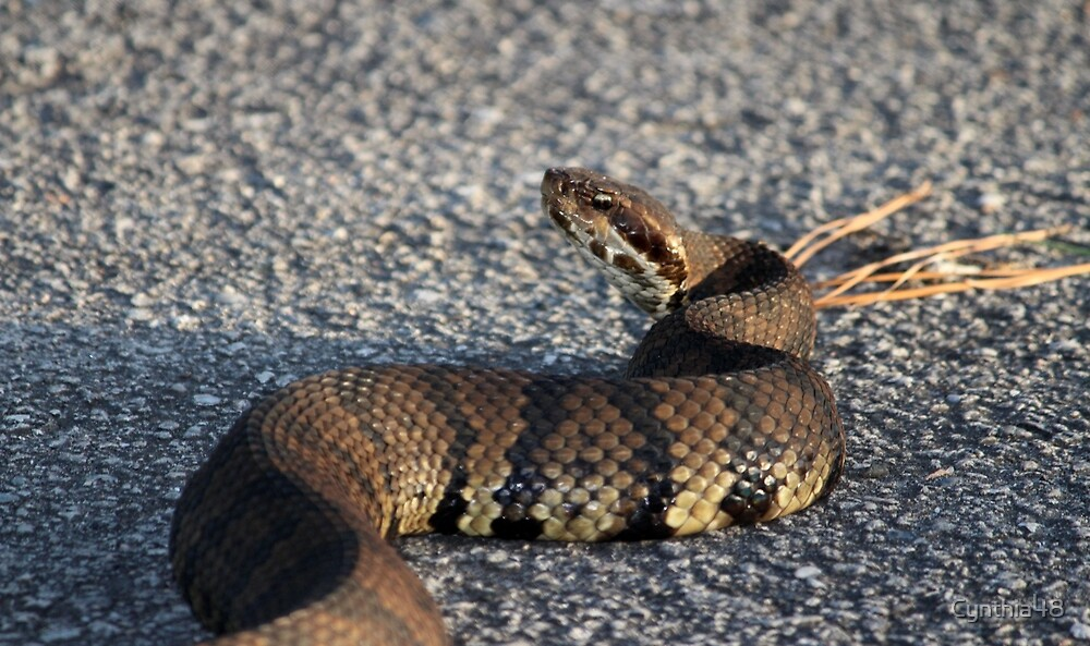 Cottonmouth Stare by Cynthia48